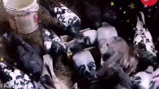 """GR (Guyub Rukun )Merpati Jawa Gell -Mpos BANYUMAS """"Kandang Wis…"""