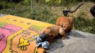 Shar-pei Puppies Play / Щенки шар-пея играются