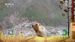 《秘境之眼》 喜马拉雅旱獭 20201213| CCTV - YouTube
