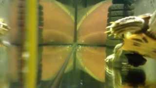 половой орган красноухой черепахи! Жесть! sexual organ turtle red
