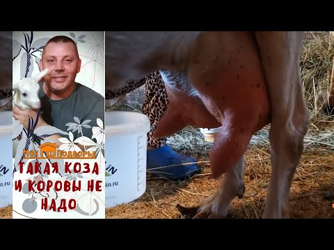Вопрос: Как правильно выбрать молочную козу?