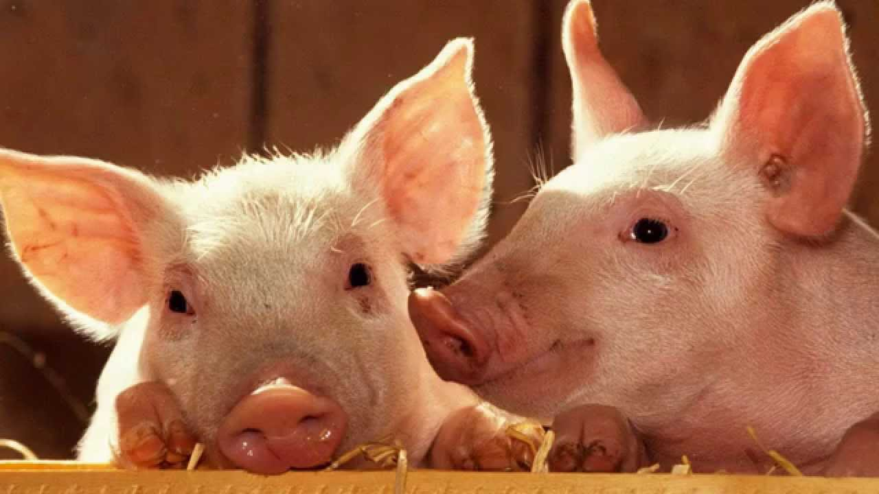 Pig Sounds and Pictures - YouTube