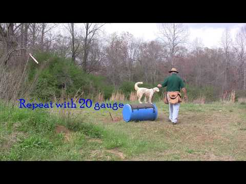 Positive Gun Dog Training - Desensitization to Gun Fire & First Quail Shot - 3- 25- 18