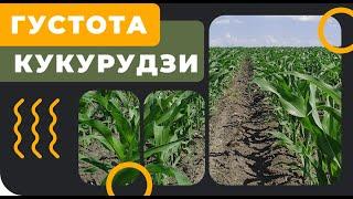 Густота посіву кукурудзи - скільки сіяти?