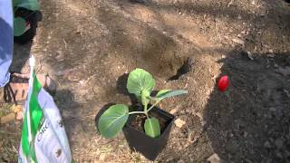 How to Plant Cabbage