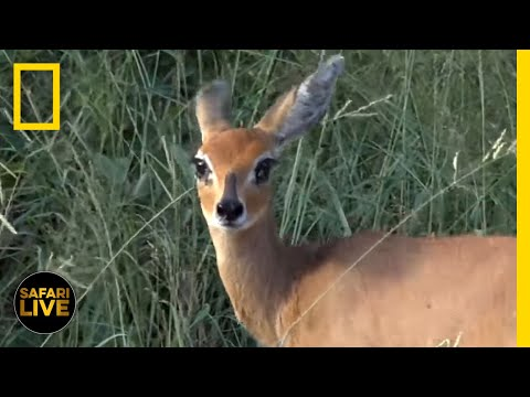 Safari Live - Day 121 | National Geographic