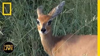 Safari Live - Day 121 | National Geographic