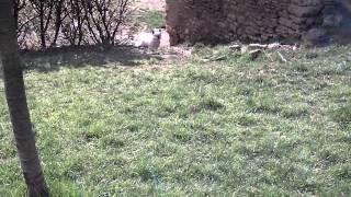 Ma famille chèvre + évolution des bébés :D ♥
