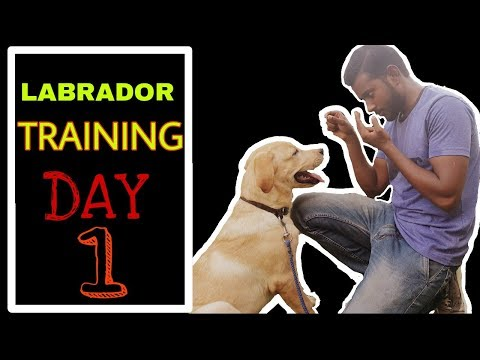 Labrador Training – Day 1 ( Best way to train your dog )