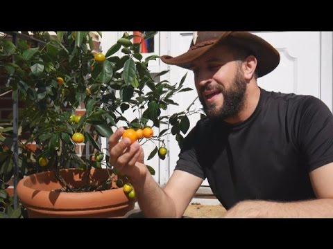 Grow Citrus Indoors With A Calamondin Orange Tree