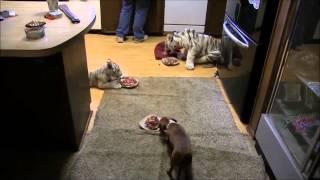 Собака ест с дикими кошечками