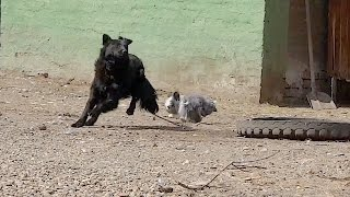 Hairy Lionhead Bunny Rabbit Chasing a Dog Around the Yard