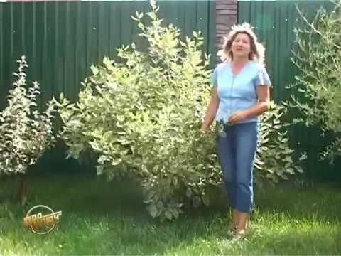 Купить раннецветущие кустарники в питомнике растений Сад