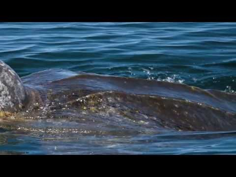 Science in Action: Pacific Leatherback Protection | California Academy of Sciences