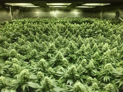 Large Scale Marijuana Grow Op Demolition