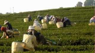 Tea picking at plantations, Mae Salong, Chiang Rai .wmv