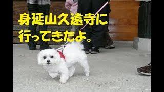 身延山久遠寺へ行ってきました。 どこへ行っても、クンクン、しっこをし...