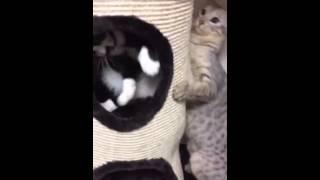 猫のガッツとぎんじの喧嘩です。