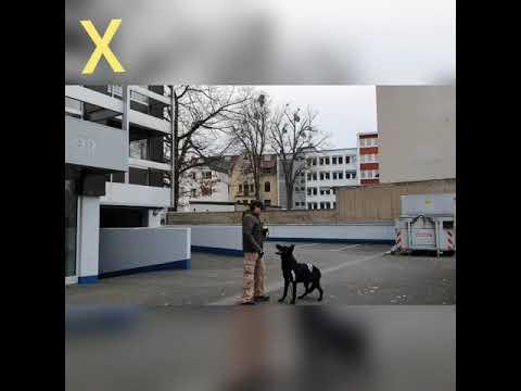 Schwarze Deutsche Schäferhund-DSH-2020-The Black German Shepherd
