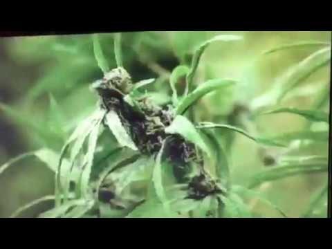Kush The Banquet Weed Cowboy Commercial # 1  420