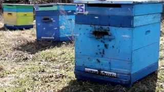 Секрет выставления пчел. Профессиональное пчеловодство.(Выносим пчел из омшаника. Медоцвет. С уважением ведущий пчеловод России Михалев А.В. http://medocvet.ru., 2014-04-08T18:54:46.000Z)
