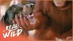 Orangutan Adopts A Dog | Real Wild