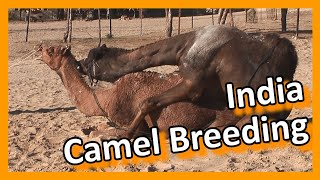 Bikaner - Camel breeding farm