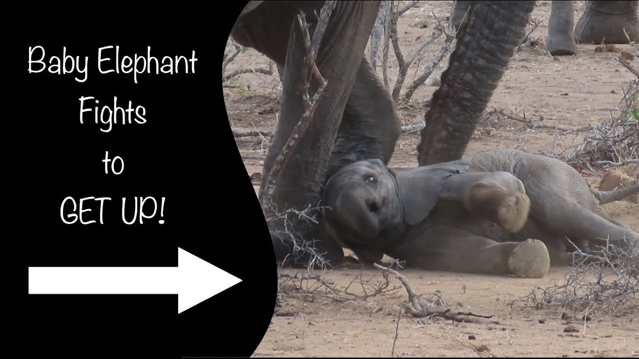 Baby Elephant Fights to Get Up!