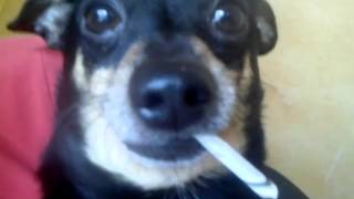смешная собака курит