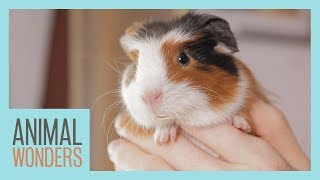 Guinea Pigs! What, Where, How