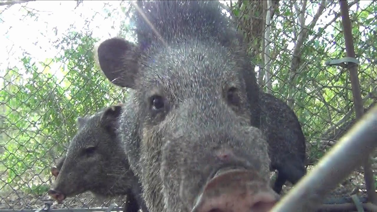 Wild Hog Javelina Caught In Hog Trap - Youtube