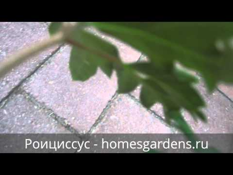 Роициссус ромбический - комнатная березка