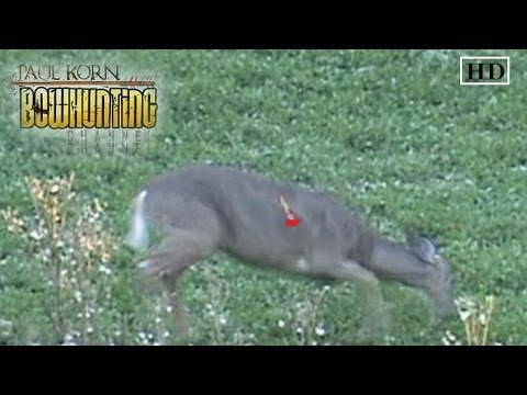 Perfect Arrow Placement On Deer Double Lung Shot Despite Ducking The Arrow Or String