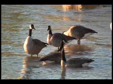 THE MIGRATION OF THE CANADA GOOSE
