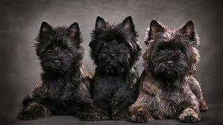 Керн терьер (cairn Terrier). Породы собак (dog Breed)