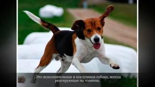 Эстонская гончая Средние породы собак