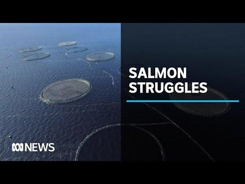 Tasmanian salmon farmer