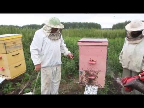 Как правильно качать мед