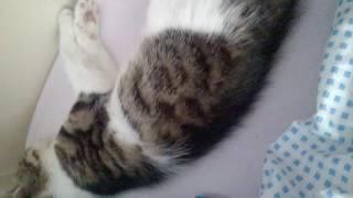 кіця спит  смешно