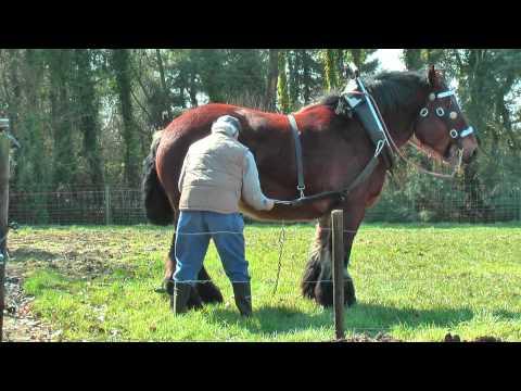 Horse breeding 3 - Belgian draft horse mating | Doovi