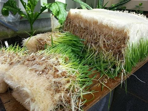 How to Grow Barley Sprouts in the Winter to Feed Your Animals