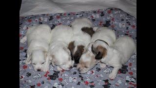 Coton de Tulear Puppies For Sale - Ireland 9/22/20
