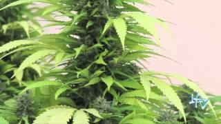 Legalización de la Marihuana en Uruguay LA TV ECUADOR 15/12/13