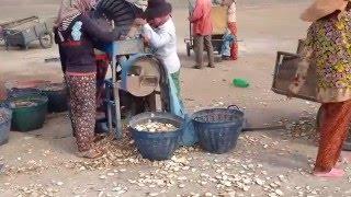 សកម្មភាពកាត់ដំឡូងមីដោយម៉ាសុីន( how to cut cassava by machine)