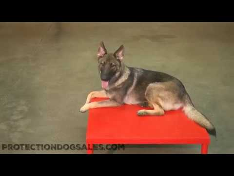 Nevina von Prufenpuden 13 Mo's Obedience/Tricks/Agility Super Dog Training For Sale