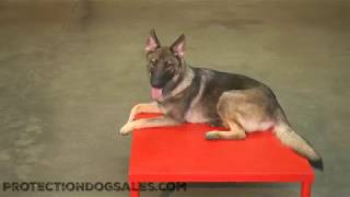 Nevina von Prufenpuden 13 Mo's Obedience/Tricks/Agility Super Dog Training For Sale