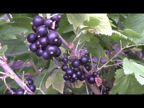 АРКАДИЯ позднеспелый сорт черной смородины