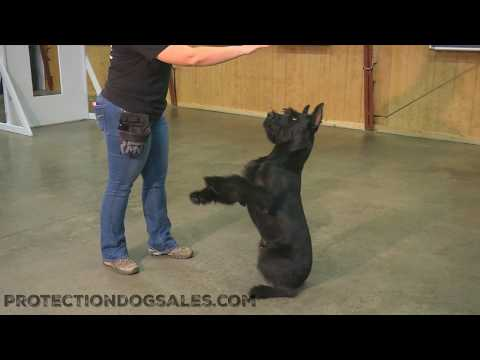 "Protection Dog Sales Breeds/Raises/Trains/Sells Giant Schnauzers ""Quill"" 8 Mo's"