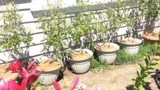 видео Ампельные томаты – это реальность