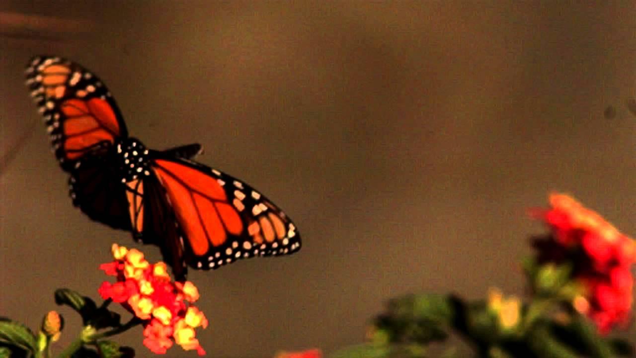 slow motion butterfly in flight youtube